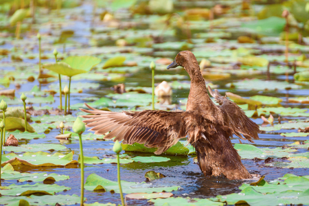 feral: Brown Ducks swimming in the lotus pond Stock Photo