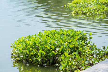 Water Hyacinth (Eichhornia crassipes) in lake