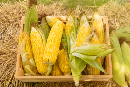 Yellow sweet corn cob in wooden box at a farm field.Thailand