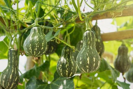 Green round gourd hanging in vegetables farm.Thailand