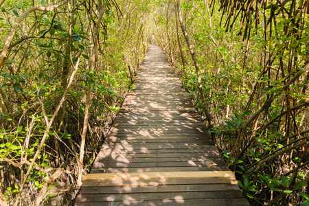 Tree tunnel, Wooden Bridge In Mangrove Forest.Thailand