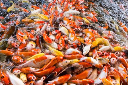 Koi fish, Fancy Carps Fish in Pond.Motion blur pictues