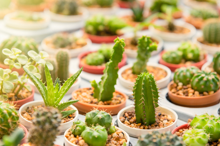 Group Of Small Cactus Plant In The Pot At Cactus Garden.Thailand Stock  Photo