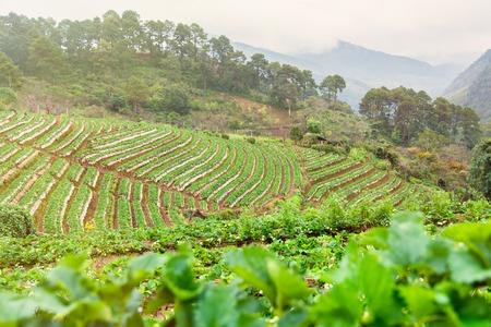 Strawberry plantation field in the morning at Doi Ang Khang Chiang Mai, Thailand
