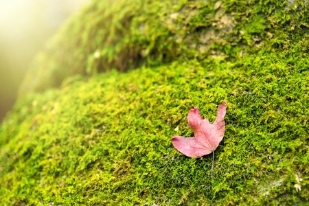 A red maple leaf on a mossy rock in a rainforest.Thailand.Copy space background, Use for website banner background, backdrop, montage menu