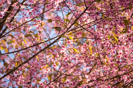 Beautiful pink cherry blossom soft focus.Vivid color of Cherry Blossom or pink Sakura flower flowering once a year at Pu lom lo Thailand Stock Photo