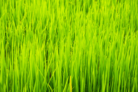 Soft focus of green rice leaf in paddy field.Thailand Imagens