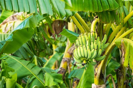 The raw cavendish banana leaves and leaves on the plant in the plots. Bananas in the near maturation are green