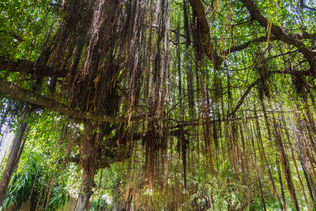 Branches of a tall gigantic banyan tree are spread wide creating shade and help protect heat from the sunlight