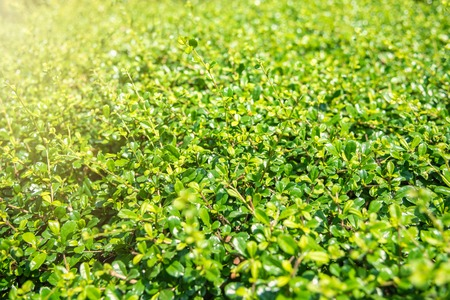 Leaf green background Refreshing nature small green leaves of plant on the ground for background and texture and decorate the landscape area.Bangkok Thailand