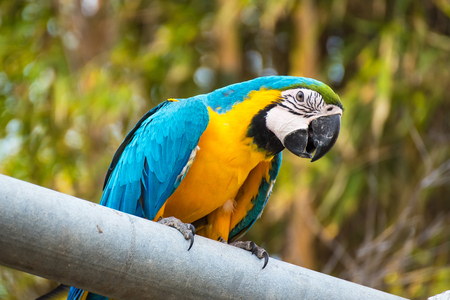 Single Blue and Yellow Macaw in the Natural background.Thailand 스톡 콘텐츠