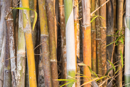 Packed and tight yellowish green bamboo trunk