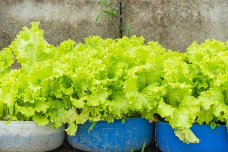 Green vegetable growing in the nursery, Agriculture concept.Thailand Zdjęcie Seryjne - 121237733