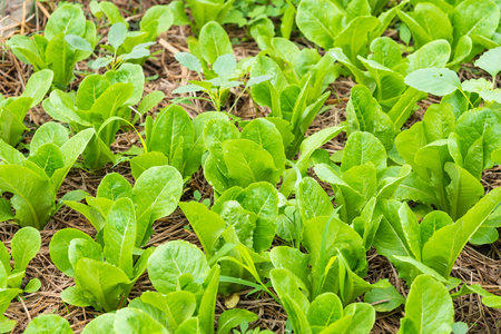 Green vegetable growing in the nursery, Agriculture concept.Thailand