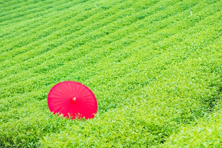 Red umbrella on the tea tree in the tea plantation in Thailand Standard-Bild