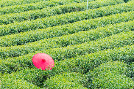 Red umbrella on the tea tree in the tea plantation in Thailand Imagens