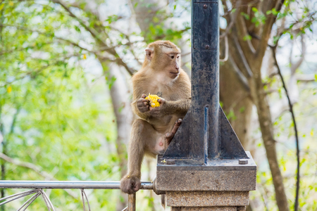 Rhesus Macaque monkeys at Rang Hill lookout point, Phuket, Thailand Stockfoto