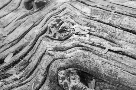 Photo Black and White of The spreading root system of the old tree on the ground. The variety of shapes in wild nature. Perfect background for the various kinds of collages,Thailand