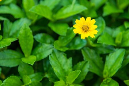 Close up little yellow star flower daisy with green garden background