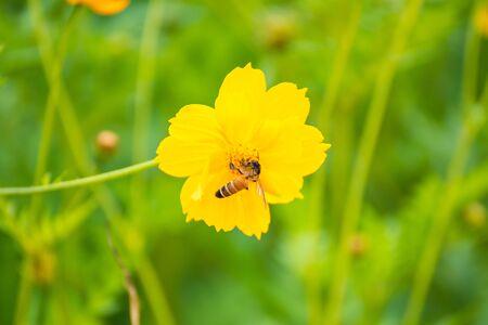 Flying bee, yellow cosmos flower