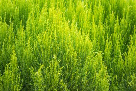 Green bush of Shatavari (Asparagus Racemosus Willd) in the backyard garden