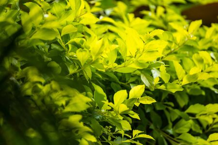 The leaves is sunshine yellow tones contrasting with the dark green backdrop Stockfoto