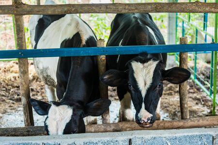 Cow in a cattle farm at Thailand Stockfoto - 129391034