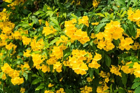 Beautiful nature background in the summer season. Yellow flowers with leaves climbing on the wall in the garden. Beauty nature background