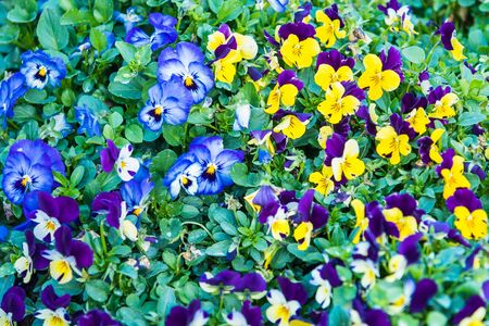 Beautiful colorful purple and yellow viola tricolor spring flowers growing in a garden