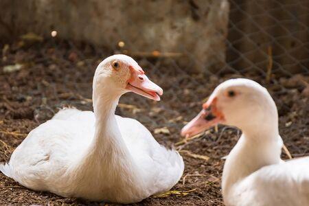 Group of ducks in farm, traditional farming in Thailand, animal farm..