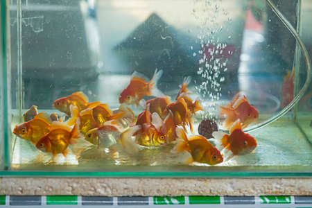 Selective focus of Group of goldfishes swimming inside the fish tank.