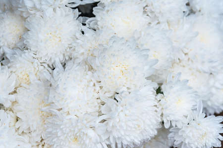 White chrysanthemum, Picture from top view, Flower background image style Archivio Fotografico