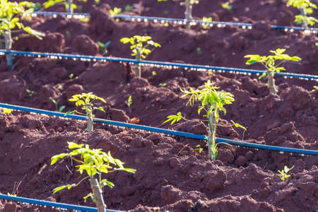 young cassava plant in the field