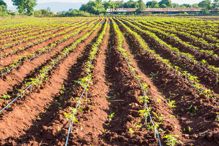 Cassava plantation.row of cassava tree in field, tapioca Starch, Row of manioc Sprouts Agricultural industrial cultivation of cassava. Planting young plants by plowing, lifting the drainage ditch. Фото со стока