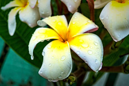 Macro closeup of White plumeria flowers with water droplets on the petals in the morning.