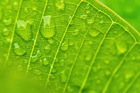Macro closeup of Beautiful fresh green leaf with drop of water after the rain in morning sunlight nature background.