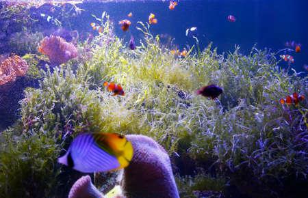 false percula clownfish: Sea Fish underwater at Bangsaen Aquarium,Chon Buri Province,Thailand