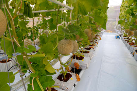 Melon growing in a greenhouse,Chon Buri Province, Thailand Stock Photo