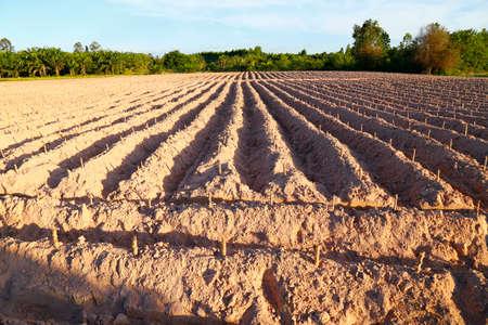 start cultivation Cassava plant field at Thailand