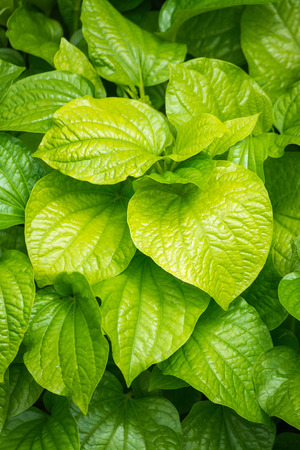 betel leaf: fresh Betel Leaf Piper Betle Stock Photo