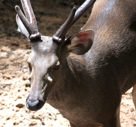 ruminant: close up deer in zoo
