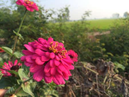 singburi: Flowers at inburi singburi province