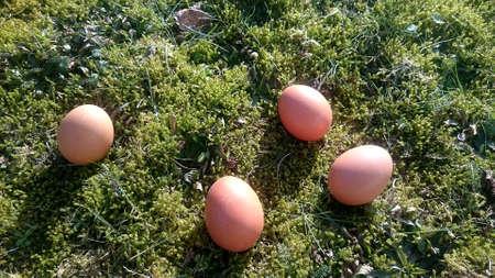 brown eggs in a meadow Standard-Bild
