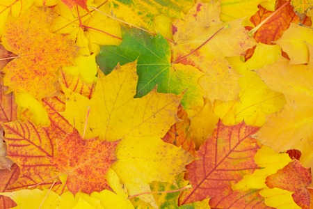 Autumnal background of colorfully colored maple leaves. Standard-Bild - 110119685