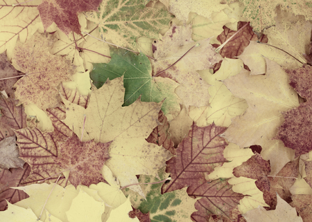 beautiful autumnal background of maple leaves Standard-Bild - 110119689