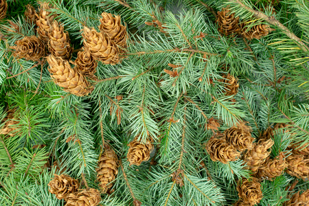 Christmas background of spruce branches and cones Standard-Bild - 110119700