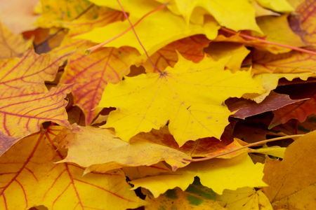 colorful background of maple leaves Standard-Bild - 110710548
