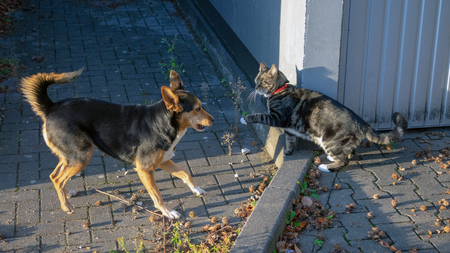German shepherd mix and domestic cat playing together Standard-Bild - 117803971