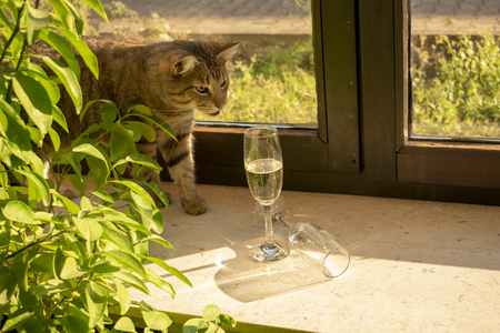 pretty tabby domestic cat is looking curiously for champagne glasses standing in the sun on the windowsill.Indoors Standard-Bild - 117803974