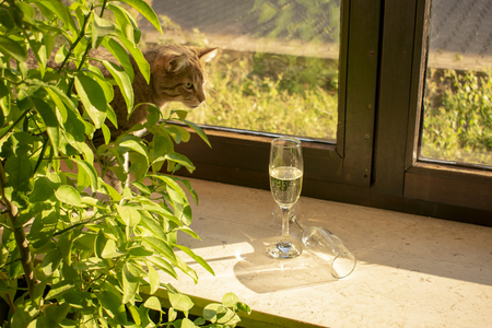 pretty tabby domestic cat looks curious, behind leaves out, after champagne glasses on the windowsill. Standard-Bild - 117803986